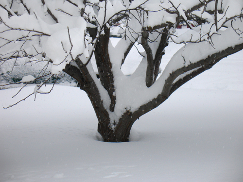 Snow-covered apple tree